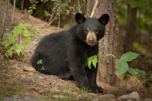 black-bear-cub.jpg