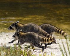 raccoons running away
