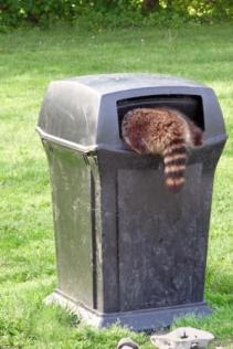 Racoon In Trash Can