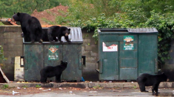 bears in dumpsters.jpg