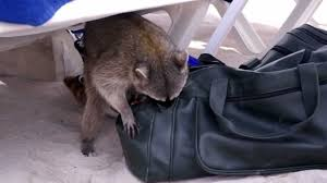 raccoon in a bag
